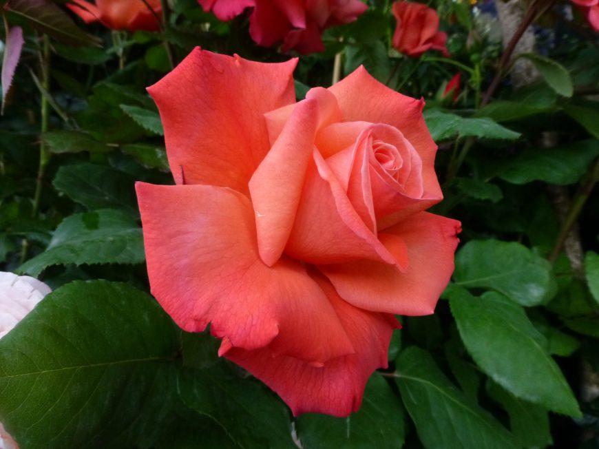 belle comme une rose, photo vladimir mitz